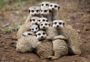 meerkat group hug
